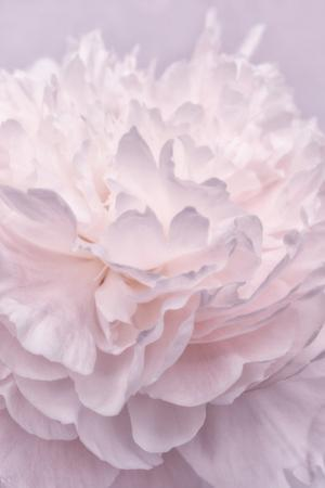 Pink Peony Petals I by Cora Niele