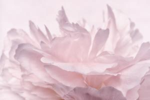 Pink Peony Petals III by Cora Niele