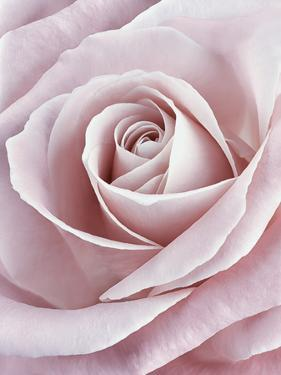 Pink Rose by Cora Niele