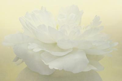 Pure White Peony by Cora Niele
