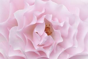 Rose Pink Rose by Cora Niele