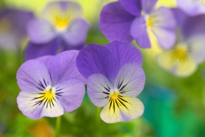 Violets by Cora Niele