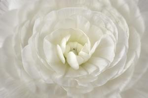 White Persian Buttercup Flower by Cora Niele