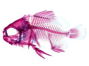 Coradion Fish