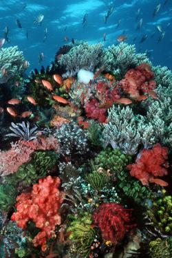 Coral Wall Komodo Marine Park Is World Famous