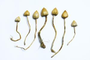 Magic Mushrooms (Psilocybe Semilanceata) by Cordelia Molloy