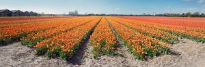 Field with Endless Rows of Tulips in Various Colors in the Netherlands, near the Keukenhof Flower S by Corepics