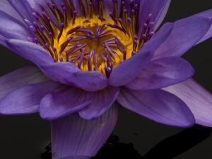 Purple Tropical Water Lily, Kenilworth Aquatic Gardens, Washington DC, USA by Corey Hilz