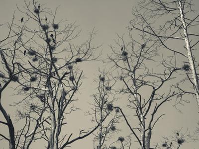 Cormorant Bird Colony on a Tree, Nida, Curonian Spit, Lithuania