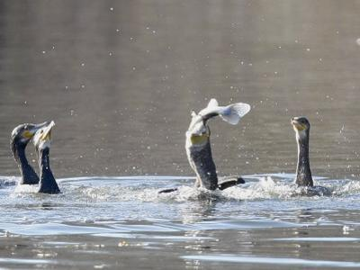 Cormorant, Phalacrocorax Carbo, is Watched by Others as it Tries to Gulp Down a Fish it Had Caught