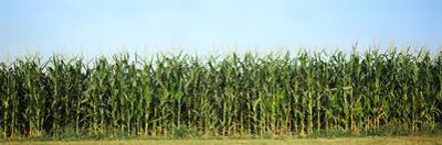 Corn crop in a field, Wisconsin, USA