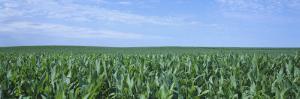 Corn Crop on a Landscape, Kearney County, Nebraska, USA