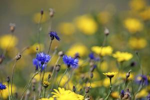 Corn Marigold in Bloom with Cornflowers