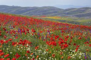 Poppies and Wildflowers by Cornelia Doerr