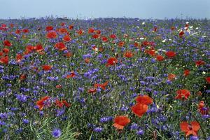 Cornflower Field with Common Poppies