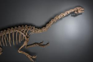A dinosaur from the Late Cretaceous period at the Natural History Museum of Utah. by Cory Richards