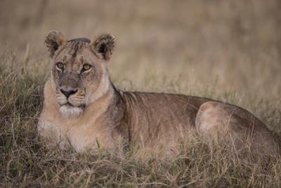 A Female Lion on Chief's Island in Botswana's Okavango Delta by Cory Richards