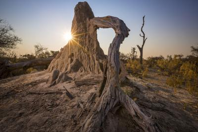 A Fungus Termite Mound Consumes a Tree by Cory Richards