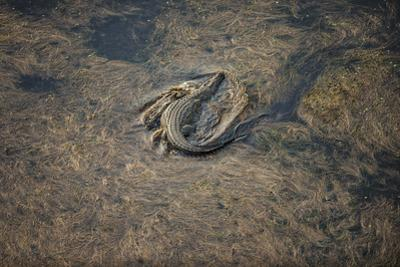 A Nile Crocodile Swims in One of the Thousands of Channels in Botswana's Okavango Delta by Cory Richards
