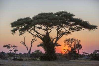 A Tree Canopy at Sunrise on Chief's Island in the Moremi Game Reserve by Cory Richards