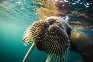 A walrus swims underwater off Hooker Island. by Cory Richards
