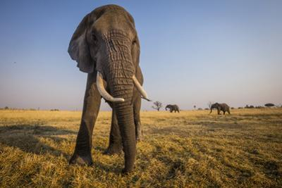 An African Elephant in the Abu Concession Area in Botswana's Okavango Delta by Cory Richards