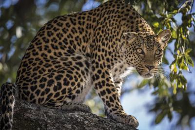 An Alert Leopard on a Tree Branch on Chief's Island in Botswana's Okavango Delta by Cory Richards