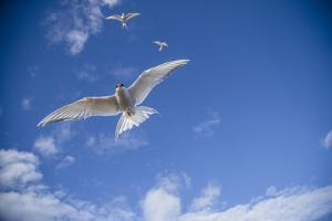 Arctic Terns Flying Above the Ocean Near Rudolph Island by Cory Richards