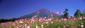 Cosmea Mount. Fuji Oshino Yamanashi Japan