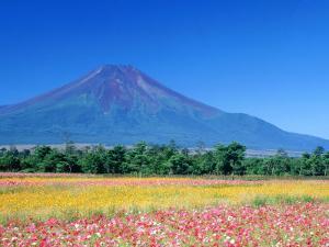 Cosmos Fields & Mt. Fuji, Oshino, Yamanashi, Japan