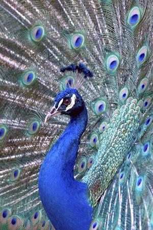 https://imgc.allpostersimages.com/img/posters/costa-rica-central-america-india-blue-peacock-displaying_u-L-Q1D0HC50.jpg?p=0