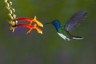 https://imgc.allpostersimages.com/img/posters/costa-rica-white-necked-jacobin-hummingbird_u-L-Q1D0H460.jpg?p=0