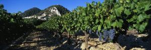 Cote Du Rhone Vineyard, Provence, France