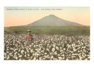 Cotton Field, Las Cruces, New Mexico
