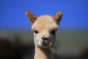 Tan Cria Alpaca by CountrySpecial