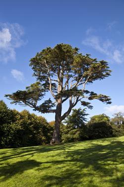 County Down; Ireland; Lebanon Cedar in Castleward Domesne Near Strangford