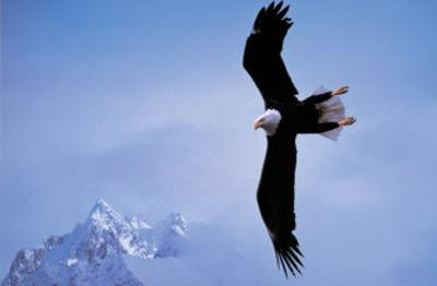 Courage: Bald Eagle