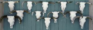 Cow Skulls Hanging on Planks, Taos, New Mexico, USA