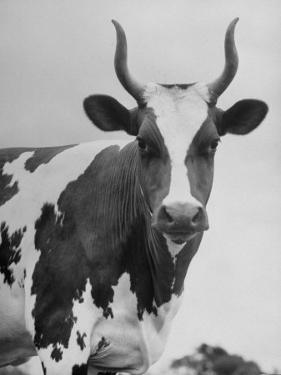 Cow Standing on Edward E. Wilson's Farm, Son of General Motors Pres. Charles Erwin Wilson