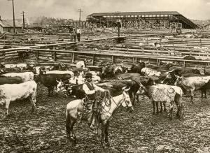 Cowboy Herding Cattle in the Railroad Stockyards at Kansas City Missouri 1890