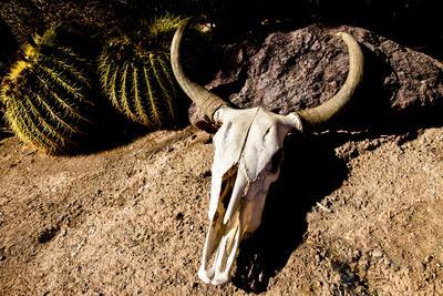 https://imgc.allpostersimages.com/img/posters/cowl-skull-out-in-the-desert-tucson-arizona-usa_u-L-Q1D073Y0.jpg?artPerspective=n