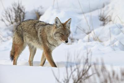 https://imgc.allpostersimages.com/img/posters/coyote-canis-latrans-in-the-snow-in-winter_u-L-PWFITB0.jpg?artPerspective=n