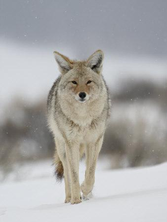 https://imgc.allpostersimages.com/img/posters/coyote-in-snow-yellowstone-national-park-wyoming-usa_u-L-P7NRDS0.jpg?p=0