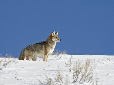 https://imgc.allpostersimages.com/img/posters/coyote-in-snow-yellowstone-national-park-wyoming_u-L-P91ISV0.jpg?p=0