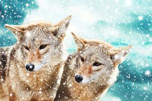 Coyote Pair & Blue Winter Sky