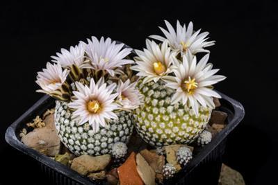 Cactus Turbinicarpus Valdezianus with Flower Isolated on Black. by Cpifbg13