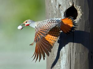 Northern Flicker by CR Courson