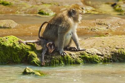 https://imgc.allpostersimages.com/img/posters/crab-eating-long-tailed-macaque-monkey-with-baby-by-a-river-national-park-at-pangandaran_u-L-PQ8SCZ0.jpg?p=0