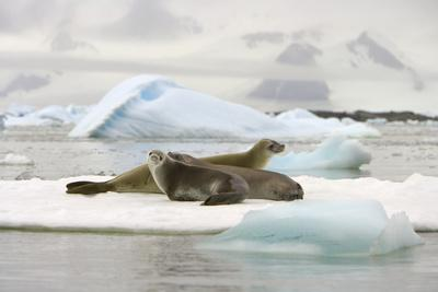 https://imgc.allpostersimages.com/img/posters/crabeater-seals-resting-on-ice-floe_u-L-PZPI4D0.jpg?p=0