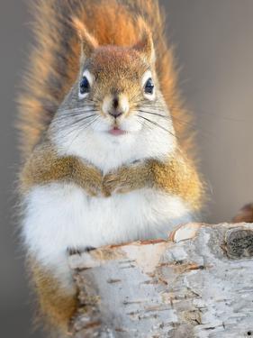 Red Squirrel by Craig A Mullenbach